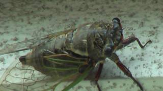 Cicada,noisemachine.セミ蝉
