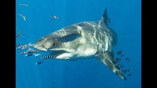 preview picture of video 'Trailer - Great White Sharks of Guadalupe, Mexico'