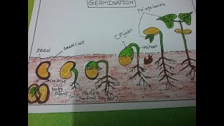 How To Draw The Pictures Of Germination, Kids Science Project,primary School Project