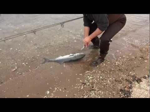 Surf Fishing with Slap Jackson Oct. 27, 2012 Big Bluefish