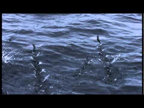 It's a Fish, It's a Bird... It's a Flying Fish!