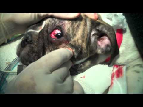Cherry Eye Surgery After Care