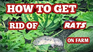 How to get rid of rats on my farm