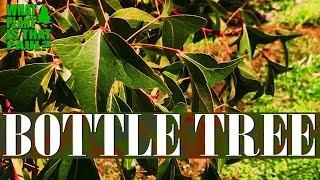 Bottle Tree (Brachychiton Populneus) - Is A Small To Medium-sized Tree Found Naturally In Australia