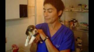 """""""Venta de Cachorros - Consejos para la Compra de un Cachorro Beagle"""""""