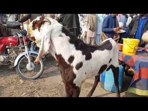 Bakra Mandi Pakistan rajanpuri Bakra for sale Mohammad Puri