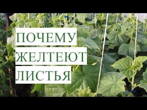 Желтеют Листья Огурцов. Причины и Эффективное Решение Проблемы.