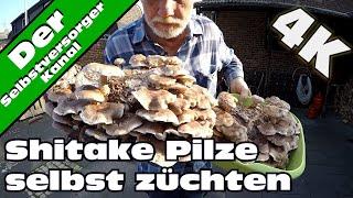 Shitake Pilze selbst züchten. So habe ich es gemacht.