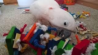 Max Don't Like Hanging Toys | Kholo.pk