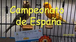 Campeonato De España 2016, Palmares Y Videos De Canarios Mazuelas