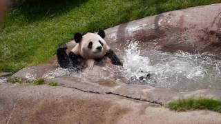 パンダの溺れ芸白浜アドベンチャーワールドにて