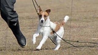 山口の嘱託警察犬、ジャック・ラッセル・テリアのメッシ