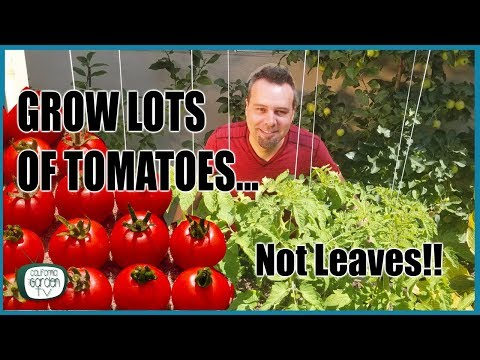 , title : 'Grow Lots of Tomatoes... Not Leaves // Complete Growing Guide