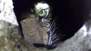 Harimau Sumatera yang Terjebak di Kolong Ruko Diberi Nama Atan Bintang