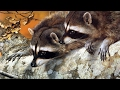 Download Youtube: The Surprising Intelligence of Raccoons