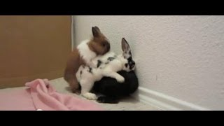 Mating Instinct - 3 Rabbits