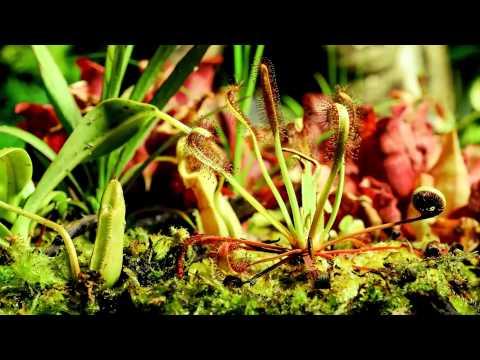 צמחים טורפים בפעולה