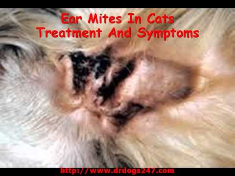 Video Ear Mites In Cats Treatment And Symptoms