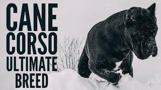 Cane Corso | The Ultimate Breed #canecorso