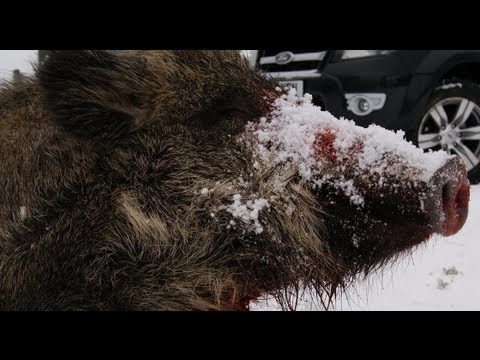Shooting British wild boar in the snow + Ford Ranger test
