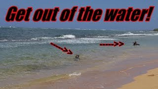 BEWARE Of This Animal At The Beach In Kauai, Hawaii   Our Life In Paradise   Kapaa   Family Vlogging
