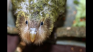 Meet the Kakapo!