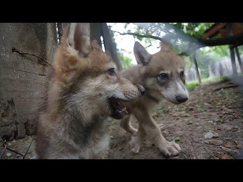 العرب اليوم - شاهد: حديقة حيوانات مونتيري تستقبل جراء متوحشة