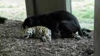Jaguar mating in schönbrunn