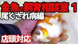 リアル店頭対応金魚の飼育相談室1おぐされ病の治療