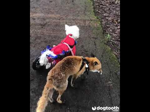 מדהים: כלב נכה הפך למורה דרך של שועל עיוור • צפו