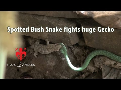 Western Natal Green snake fights huge Wahlberg's Velvet Gecko