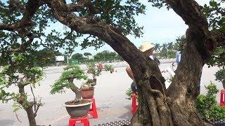 Cây Nguyệt Quế ở Chợ Cây Mỹ Đình Phát Giá 700 Triệu - Bonsai Market In My Dinh - Ha Noi