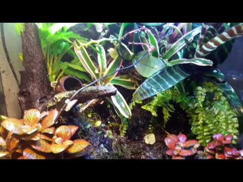 Poison dart frog paludarium with shrimp