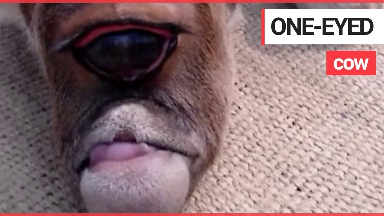 Родившийся в Индии теленок-циклоп почитается, как божество