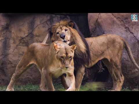 """Homenaje a """"Leono"""", el león de Pacaya"""