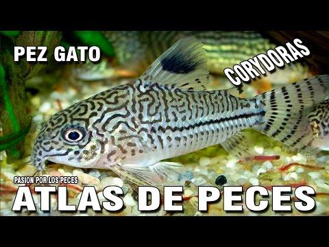 "ATLAS DE PECES ""Corydoras"""