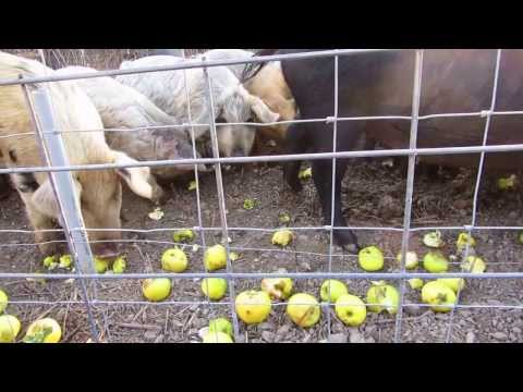 Feeding the pigs / Schweine Futter