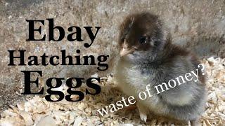 eBay Hatching Eggs: A Waste of Money?