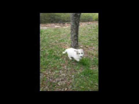 Zeus - Great Pyrenees puppy for sale