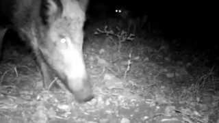 preview picture of video 'wild animals: golden jackal, wild boar, hedgehog, red fox'