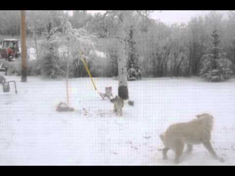 BIG Coyote Vs Our Dog In Our Back Yard. Nov.14/2014. Our Dog Was Protecting Her Elk Meat Scraps!