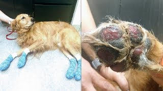 Dog Suffers Severe Burns On Paws From Walking On Hot Pavement, Warning To Others