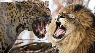 Ягуар против льва! Кто сильнее лев или ягуар?