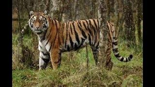 Ничего особенного, просто тигры на обочине дороги.  Дальний Восток.