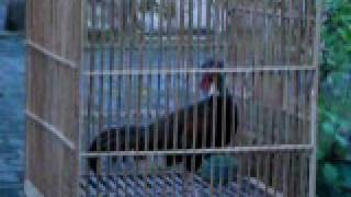 preview picture of video 'Suara Dasar Ayam Hutan Hijau Bantul Yogyakarta.avi'
