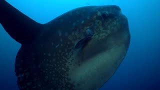 Enormous Ocean Sunfish Caught on Camera Cleaning Itself | BBC Earth