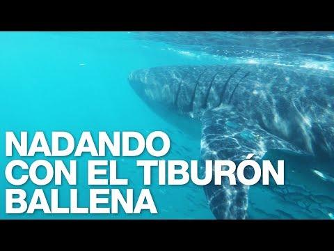 Whale Shark Dive – Holbox 2017