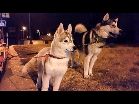 Фото маленькии щенок хаски Рокки / новая собака и первая прогулка