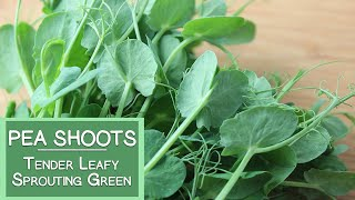 Pea Shoots, A Tender Leafy Sprouting Green