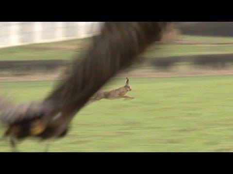 Hunting hares with golden eagles – fantastic flights